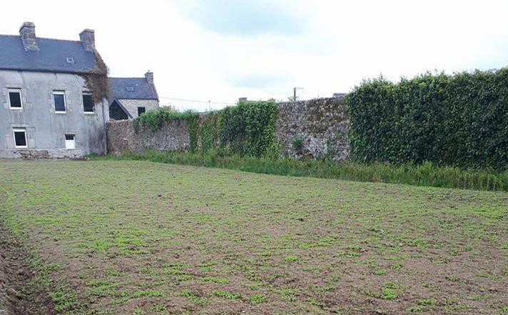 Le champ de lin 19 jours après le semis